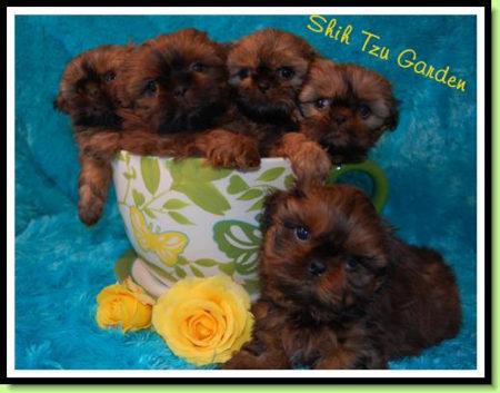 Shih Tzu Puppies of Shih Tzu Garden Northern Bay Area CA
